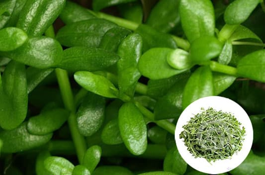 brahmi extract supplier india