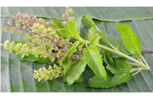 tulsi leaves extract supplier india