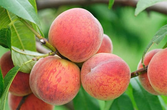 peach extract supplier india