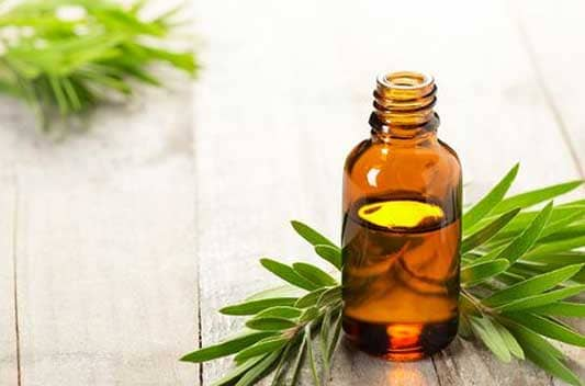 tea tree oil extract supplier india